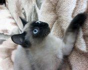 Потерялся кот по пр.Комсомольский 25 подьезд 7
