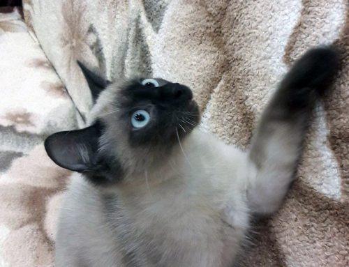 Потерялся кот по пр.Комсомольский 25