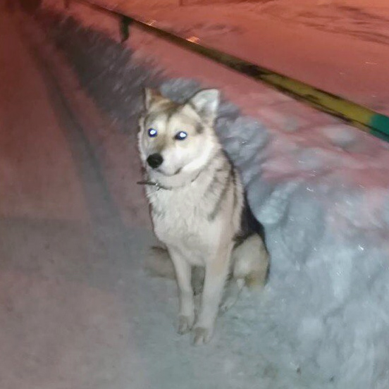 Помоги пожалуйста найти нашу собаку , сегодня видели его в районе Кирибая , мы его ищем уже три недели он убежал с дачи в город и заблудился видать